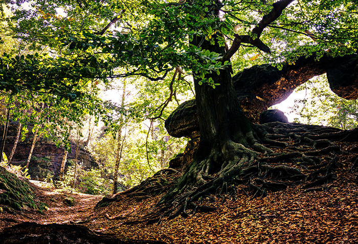 700 tree root forest