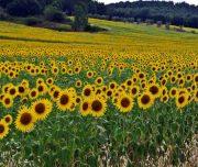 ALPStours-Sonnenblumen im Val di Chiana Tour Verso Roma Trekking BIke